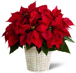 The FTD Red Poinsettia Basket (Small) from Kinsch Village Florist, flower shop in Palatine, IL