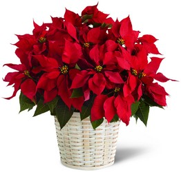 The FTD Red Poinsettia Basket (Large) from Kinsch Village Florist, flower shop in Palatine, IL