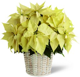 The FTD White Poinsettia Basket (Large) from Kinsch Village Florist, flower shop in Palatine, IL