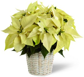 The FTD White Poinsettia Basket (Small) from Kinsch Village Florist, flower shop in Palatine, IL